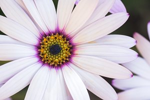 White daisy osteospermums