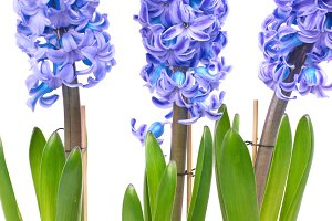 Beautiful blue flowers hyacinthes