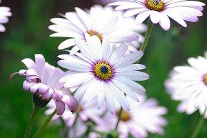 White daisy osteospermums