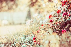 Autumn garden with red rosas