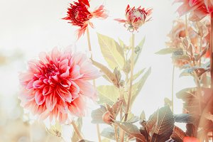Dahlias flowers in garden