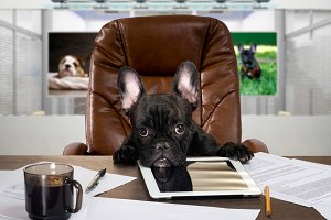 The dog in the office behind a desk. Cabinet, tablet, paper and cup of coffee. Bulldog - boss at the table. The concept  business, pet, head  the company, the