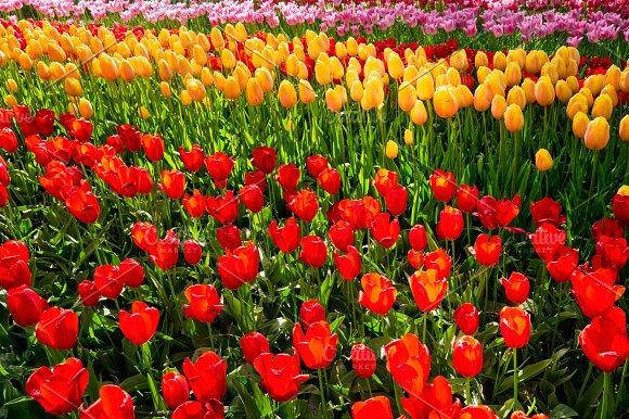 Blooming Tulips Flowerbed In Keukenhof Flower Garden Netherland