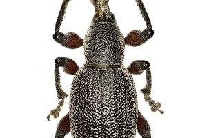 Weevil Otiorhynchus