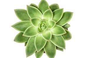 Succulent plant Top view