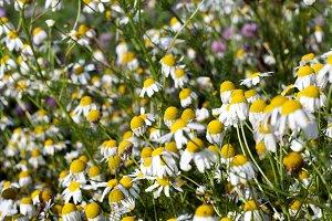 White daisies, field