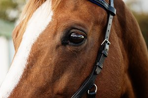 Thoroughbred Horse Headshot