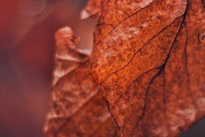 Orange Fall Leaf Closeup