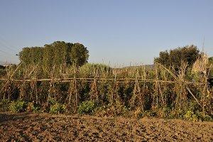 Montornes orchard