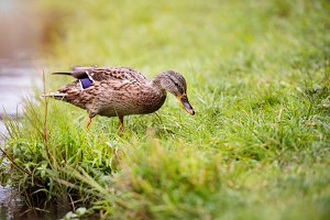Duck on the lake bank on the green grass.