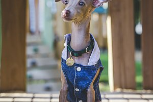 Little italian greyhound