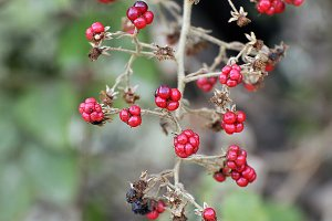 bouquet of blackberries