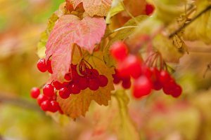 red clusters of a viburnum