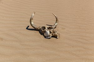 skull with horns on the sand