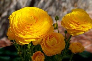 Yellow buttercups on garden