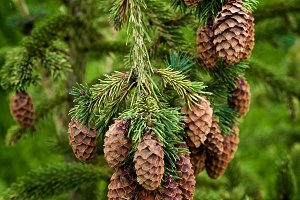 Spruce Branch With Cones