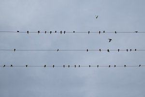 Swallows Birds Wires