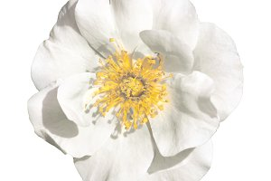 Isolated Photo White Flower Top View