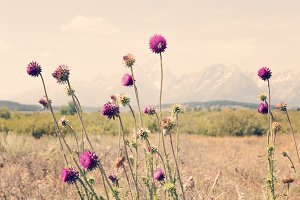 Wild Flowers in the Tetons