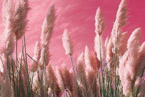 Rye on the pink sky Design color