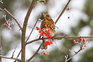 winter morning in the forest - bird eating red berries