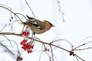 beautiful bird eats red berries in winter