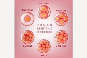Embryo Development Image
