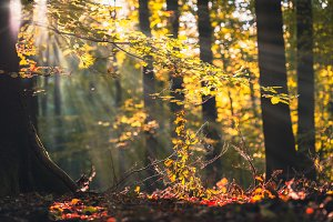 Golden autumn scene in a forest, with falling leaves and sun shining through the trees. Sun rays coming through the leaves