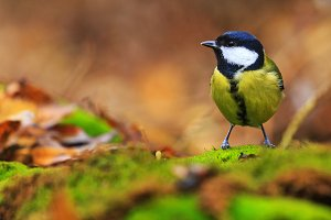 great tit among the colors of the autumn forest
