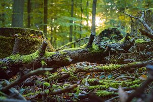 Fallen tree covered by moss in a sun rays flares. Autumn forest