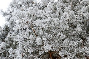 pine needles are covered with frost