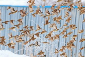 sparrows in the winter flying against the background of the fence