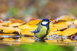 yellow black bird in the autumn puddle