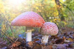 Amanita in the autumn forest with sunny hotspot