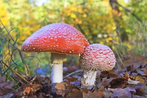 Amanita in the autumn forest