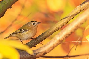 autumn leaves on leaves and singing bird