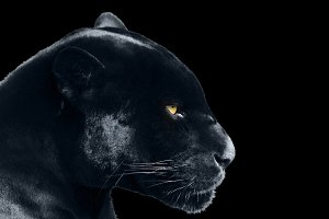 black jaguar on a black background