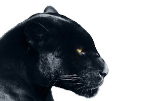 black panther on a white background