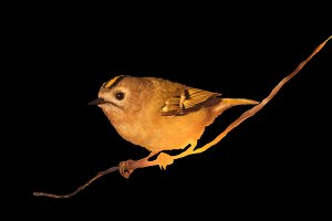 Goldcrest sitting on a branch isolated on a black background