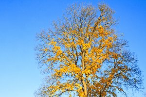 tree with yellow leaves on the background of the sky