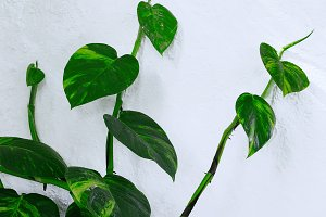 Plant on the white wall.