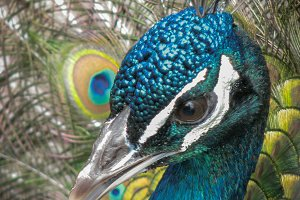 Majestic Blue Peacock Portrait