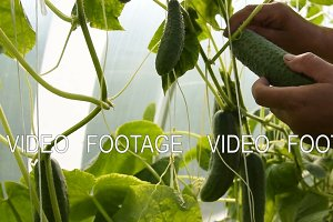 Farmer picking cucumbers in the greenhouse