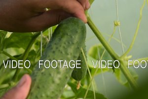 Harvesting cucumbers in greenhouse