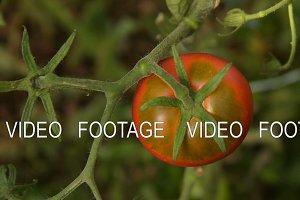 Picking ripe red tomato