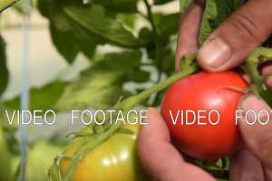 Picking tomatoes in warm house