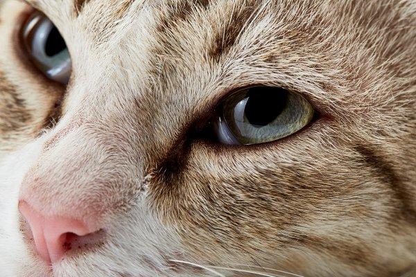 American Short hair cat lying on wh…