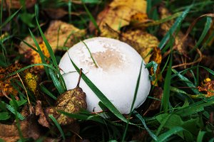 Mushroom in the grass in the autumn leaf