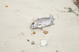 Dead fish on the beach.