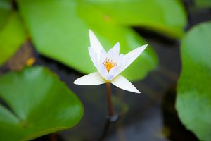 White lotus flower in the water.